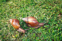 Crawler snail Royalty Free Stock Photo
