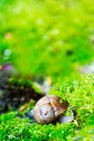 Crawler snail in spring green grass Royalty Free Stock Photography