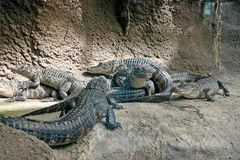 Crawling With Alligators Royalty Free Stock Photo