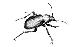 Crawling beetle on a white background Stock Photography