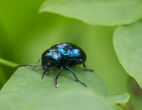 Crawling blue beetle Royalty Free Stock Photography