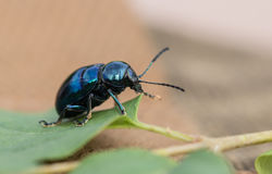 Crawling blue beetle. Beetle outside the body crusty, wing is horny, thick and hard, hind wings are membranous, such as beetle, beetles, weevils and so on. Most Stock Photography