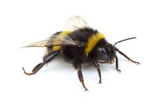 Crawling bumblebee. Isolated on the white background Stock Images