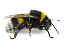 Crawling bumblebee Royalty Free Stock Images
