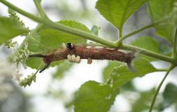 Crawling caterpillar Stock Photography