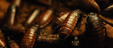 Crawling cockroaches royalty free stock photo