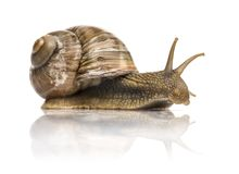 Crawling common snail, Burgundy snail or edible snail. Isolated Royalty Free Stock Photo