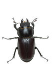 Crawling  female stag beetle (Lucanus cervus) Stock Photography