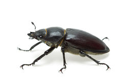 Crawling  female stag beetle (Lucanus cervus) Stock Images