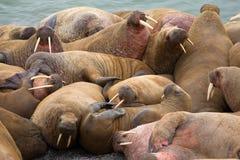 Crawling, fighting, sleeping soundly - Atlantic Royalty Free Stock Image