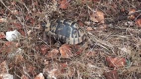 Crawling in grass turtle. Zoom in stock video