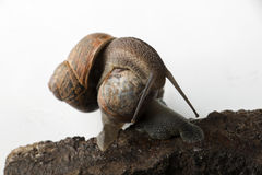 Crawling and kissing snails Royalty Free Stock Photo