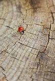 Crawling ladybird Royalty Free Stock Photography