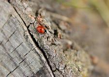 Crawling ladybird Stock Image