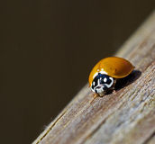 Crawling Ladybug. Orange ladybug crawling on wood Stock Image