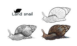 Crawling land snails. Drawing of crawling land snails  on with white background Stock Photography