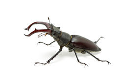 Crawling  male stag beetle (Lucanus cervus) Stock Photography