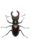 Crawling  male stag beetle (Lucanus cervus) Royalty Free Stock Image