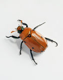 Crawling Masked Chafer Beetle Stock Photos