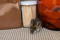 Crawling out from between food products a wild gray house mouse, Mus musculus, in a kitchen. Stock Photos