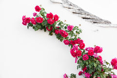 Crawling roses Royalty Free Stock Photos