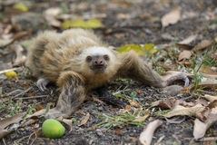 Crawling sloth Stock Images