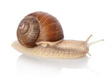 Crawling snail Stock Image