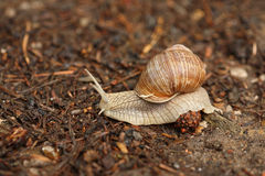 Crawling snail Royalty Free Stock Images