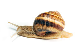Crawling snail. A crawling snail isolated Stock Photo
