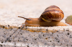 Crawling snail with ant as passenger Royalty Free Stock Photography