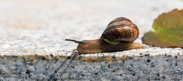 Crawling snail with ant and green leaf on warm stone Stock Photo