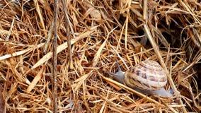 Crawling snail closeup stock video