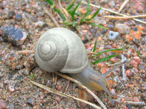 Crawling snail. A crawling gray snail on coarse sand Stock Photo