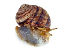 Crawling snail isolated on a white background Stock Photo