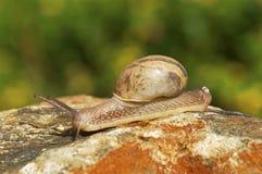 Crawling snail, Pune. Crawling snail on rock from Pune, Maharashtra stock image