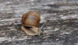 Crawling snail with a shell Royalty Free Stock Photo