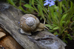 Crawling snail. The snale is crowling in the garden Stock Photos