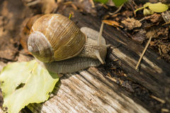 Crawling snail sunny summer day. Crawling snail warm sunny summer day, France Stock Photography