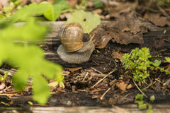 Crawling snail sunny summer day. Crawling snail warm sunny summer day, France Royalty Free Stock Photo