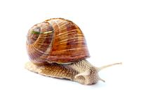 Crawling snail  on white background Royalty Free Stock Photography