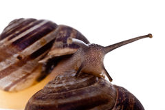 Crawling snails Stock Photos