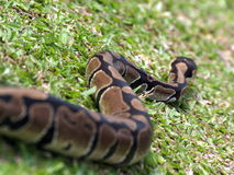 Crawling snake. A snake crawling on the grass Royalty Free Stock Photography