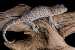 Crawling tokay gecko. A tokay gecko is crawling over a piece of driftwood stock image