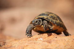 Crawling tortoise Stock Images