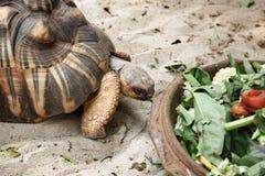 Crawling tortoise Royalty Free Stock Photos