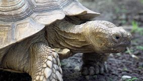 Crawling Tortoise. Close Up. Shot with a Sony a6300 fps29,97 4k stock footage