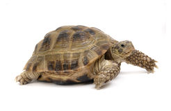 Crawling tortoise isolated stock images