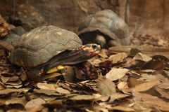 Crawling tortoise. In the nature royalty free stock photo