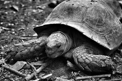 Crawling tortoise. In the nature stock images