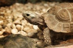 Crawling tortoise. In the nature royalty free stock image